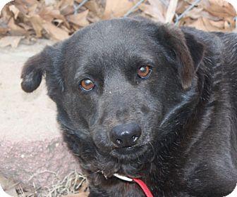 Labrador Retriever Mix Dog for adoption in kennebunkport, Maine - Abigail - in Maine