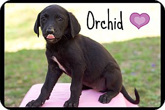 Beagle/Labrador Retriever Mix Puppy for adoption in Windham, New Hampshire - Orchid (reduced fee!) (Pom-dc)