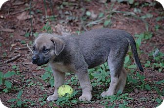 Shepherd (Unknown Type)/Pointer Mix Puppy for adoption in Lawrenceville, Georgia - Two Toes
