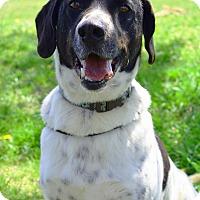 Adopt A Pet :: Maverick - Delaware, OH