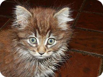 Maine Coon Kitten for adoption in Burlington, North Carolina - BON BON