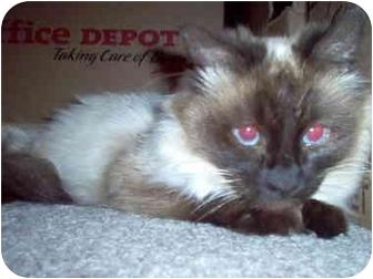 Siamese Cat for adoption in Scottsdale, Arizona - Savanah