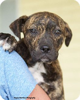 Plott Hound/Labrador Retriever Mix Dog for adoption in Knoxville, Tennessee - Star