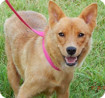 Finnish Spitz/Spitz (Unknown Type, Small) Mix Dog for adoption in Williamsport, Maryland - Electra(20 lb) Perfect Girl!