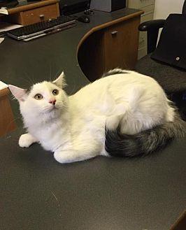 Domestic Shorthair Cat for adoption in Gilberts, Illinois - ARKANSAS