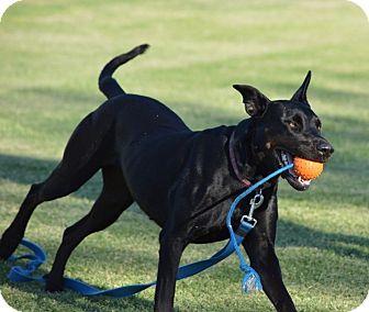 Great Dane/Labrador Retriever Mix Dog for adoption in Phoenix, Arizona - Sophie