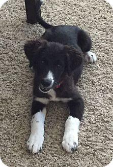 Border Collie Mix Puppy for adoption in Houston, Texas - Katy