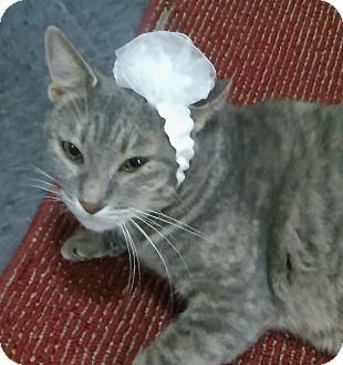 Domestic Shorthair Cat for adoption in Witter, Arkansas - Annabel Lee