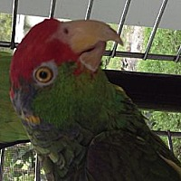 Amazon for adoption in Punta Gorda, Florida - Sammy