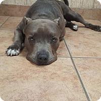 Adopt A Pet :: Rocko - Hialeah, FL