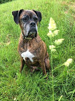 Boxer Dog for adoption in Bennington, Vermont - Cayda