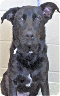 Shepherd (Unknown Type) Mix Dog for adoption in Shorewood, Illinois - Jethro