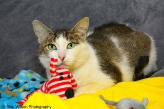 Domestic Shorthair/Domestic Shorthair Mix Cat for adoption in Neenah, Wisconsin - Nissa
