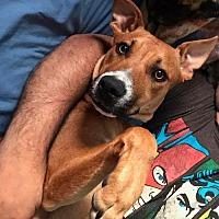 Adopt A Pet :: Abigail - Palatine/Kildeer/Buffalo Grove, IL