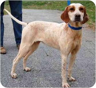 Pointer Dog for adoption in Inman, South Carolina - Lady Bird