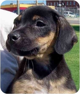 Border Collie/Beagle Mix Puppy for adoption in Olive Branch, Mississippi - Stinky