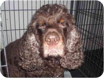 Cocker Spaniel Dog for adoption in Sherman Oaks, California - Bisquitt