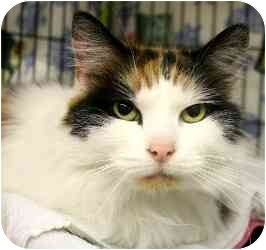 Domestic Longhair Cat for adoption in Westbrook, Maine - Penny