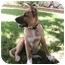 Photo 3 - German Shepherd Dog/Labrador Retriever Mix Puppy for adoption in Poway, California - Lucy
