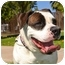 Photo 4 - American Bulldog Dog for adoption in Phoenix, Arizona - Lola