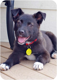 Border Collie/Shepherd (Unknown Type) Mix Puppy for adoption in Westminster, Colorado - CHERRY