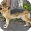 Photo 4 - German Shepherd Dog Dog for adoption in Los Angeles, California - Dasa von Hollywood