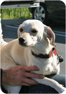 Italian Greyhound/Chihuahua Mix Dog for adoption in Los Angeles, California - TREDWAY