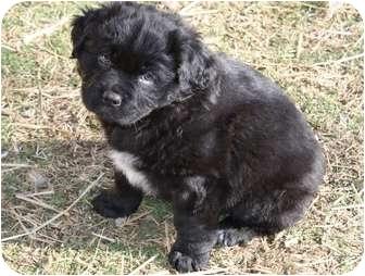 Pug/Shih Tzu Mix Puppy for adoption in Glastonbury, Connecticut - Curley