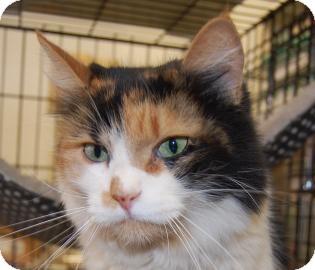 Domestic Longhair Cat for adoption in Brooklyn, New York - Kathy