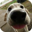 Labrador Retriever Mix Puppy for adoption in Pilot Point, Texas - STAR