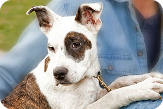 American Pit Bull Terrier Mix Dog for adoption in Howell, Michigan - Luigi