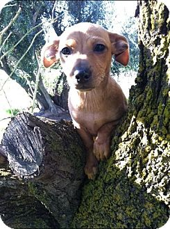 Dachshund/Chihuahua Mix Puppy for adoption in Yuba City, California - Mickey