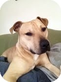 Pit Bull Terrier Dog for adoption in McKeesport, Pennsylvania - Damian