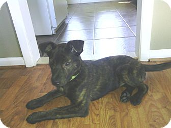 Shepherd (Unknown Type) Mix Puppy for adoption in Warren, Michigan - Lizzie