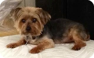 Yorkie, Yorkshire Terrier Dog for adoption in Naples, Florida - Zach