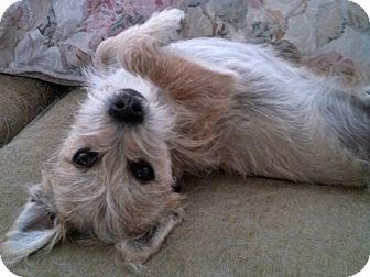 Terrier (Unknown Type, Small) Mix Dog for adoption in Thousand Oaks, California - Bandit