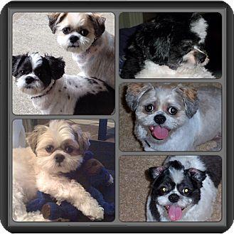 Shih Tzu Dog for adoption in Overland Park, Kansas - Gabby