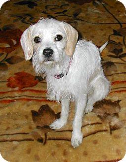 Tibetan Terrier Mix Dog for adoption in Hainesville, Illinois - Taz