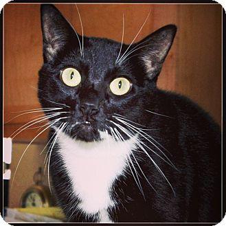 Domestic Shorthair Cat for adoption in Woodland, California - Mocha Marie Montclair