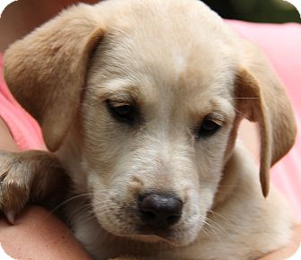 Labrador Retriever Mix Puppy for adoption in Stamford, Connecticut - Cali - adoption pending