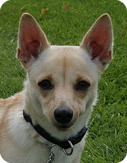 Finnish Spitz/Chihuahua Mix Dog for adoption in Monroe, Michigan - Ossie