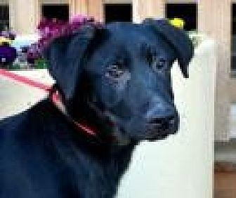Labrador Retriever Mix Dog for adoption in Jackson, Mississippi - Fletcher