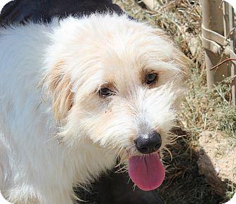 Old English Sheepdog/Golden Retriever Mix Dog for adoption in Harmony, Glocester, Rhode Island - Lambchop