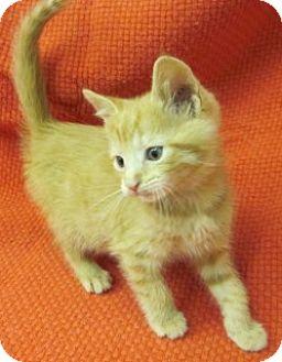 Domestic Shorthair Kitten for adoption in Olive Branch, Mississippi - Lee