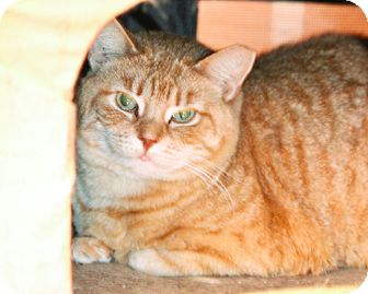 Domestic Shorthair Cat for adoption in Worcester, Massachusetts - Big Tig