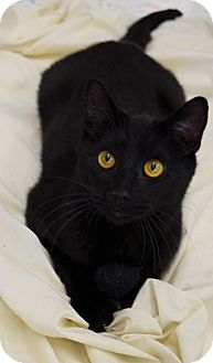 Domestic Shorthair Cat for adoption in Hillside, Illinois - Niko-LITTLE BLACK PANTHER