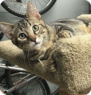 Domestic Shorthair Kitten for adoption in Lombard, Illinois - Marshall