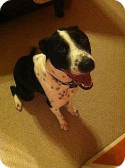 Border Collie/Labrador Retriever Mix Dog for adoption in Allen, Texas - Oreo