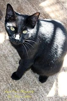 Domestic Shorthair Cat for adoption in Norman, Oklahoma - Hilda
