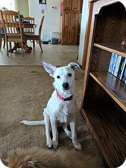 Blue Heeler Mix Puppy for adoption in DeForest, Wisconsin - Scuttle